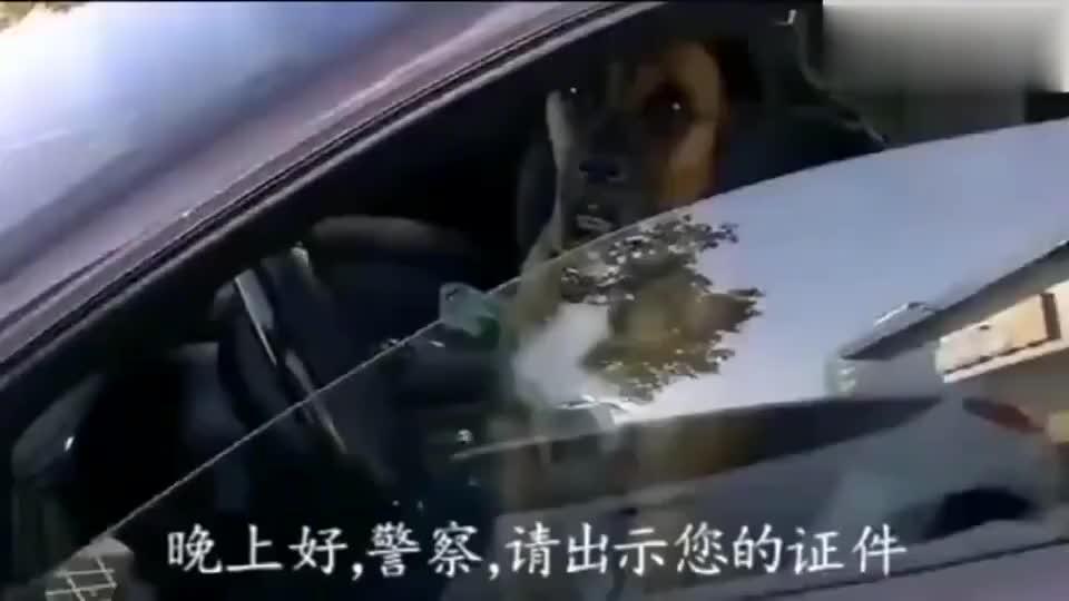 主人把狗子放在车里 结果遇到警察查酒驾 表情亮了