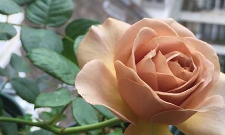 """喜欢菊花,不如养盆""""高档玫瑰""""拿铁咖啡,一次开爆四季开花"""