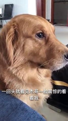 金毛犬:饿了就吃我的狗粮吧