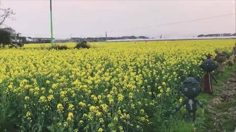 春天的油菜花黄色花海