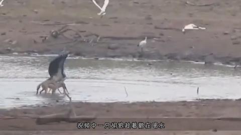 鹳正在河边喝水不料被胡狼一口咬住脖子镜头拍下全过程