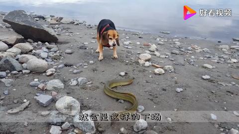 狗被电的尖叫鳄鱼被电的翻了肚皮电鳗有多厉害