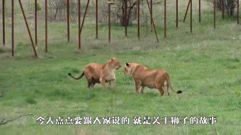 退休老狮王遭两头雄狮围攻为了保留尊严它的举动让人泪目