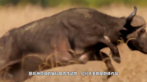 狮子咬住大象脸部趁狮子体力不支用象牙顶翻狮子可惨了