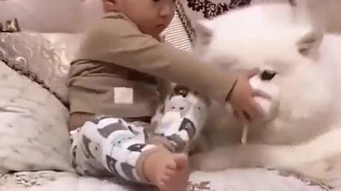 小主人怕妈妈不让狗狗吃,使劲儿往萨摩耶嘴里塞