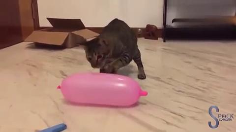 当手贱猫碰上气球,爆炸瞬间,喵星人反应承包了我一天的笑点