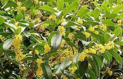 在中国有2500年历史,也是桂林是市花,常有人用来泡茶!