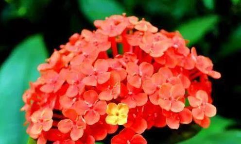 """喜欢菊花,不如养盆龙船花,号称""""菊中珍品"""",花似绣球,美爆了"""