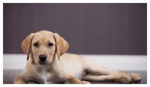 香港一位确诊病人家中的宠物狗,新冠肺炎测试呈弱阳性反应