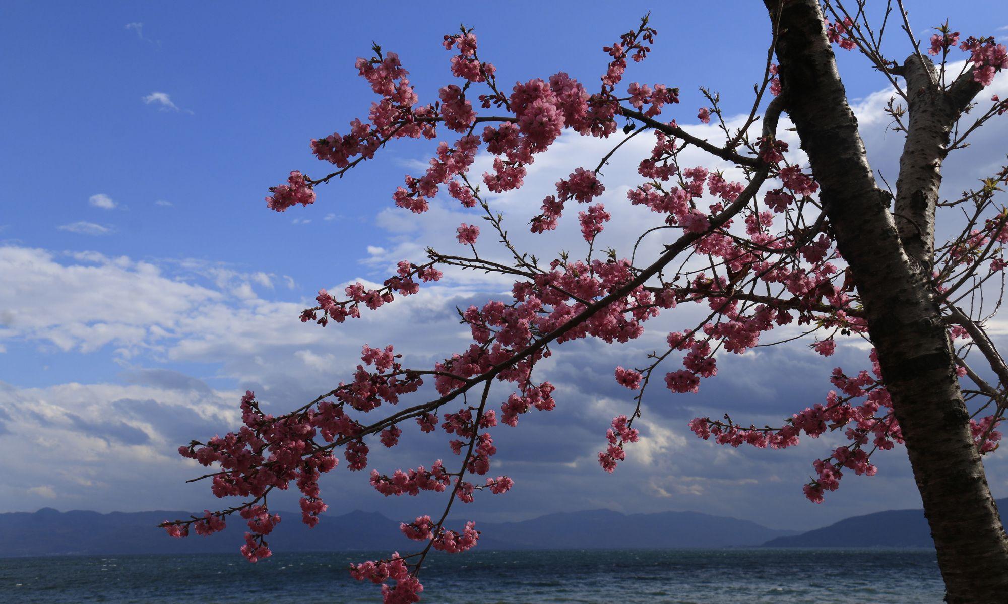 开在元旦里的抚仙湖边上的云南冬樱花