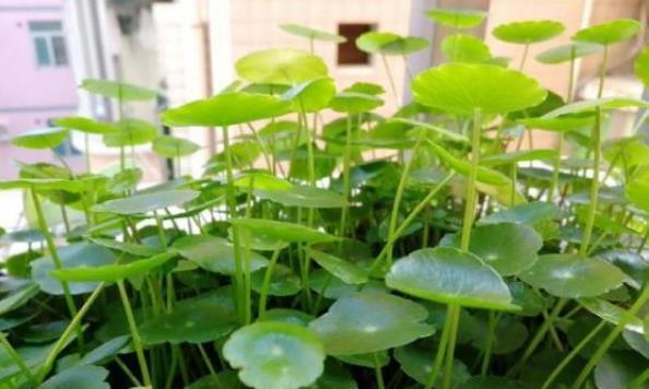 秋季养铜钱草,用这个小妙招,叶片油绿又大又圆,来年春天长爆盆