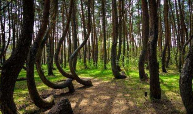 松树全部呈90度转弯生长,奇特的弯曲森林,成因至今未解