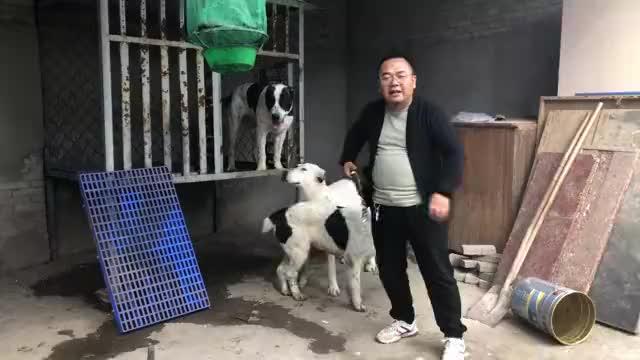 威猛霸气的中亚牧羊犬,这无所畏惧的样子遇见狼群也敢开咬
