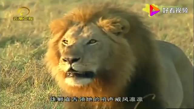 雄狮用尿液标记领地范围同时做着鬼脸摄像机拍下这一幕