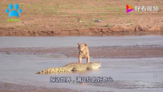 鳄鱼的天敌5秒钟就能撕咬完鳄鱼真正的水中霸主