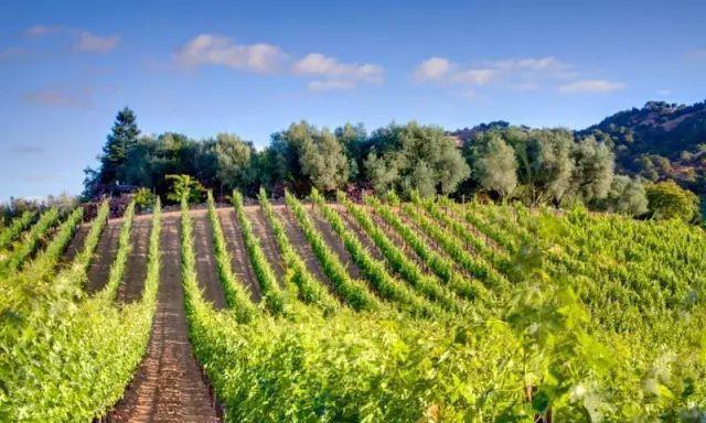 中国红酒供销网:植物界的奇葩?葡萄树偏爱贫瘠土壤!