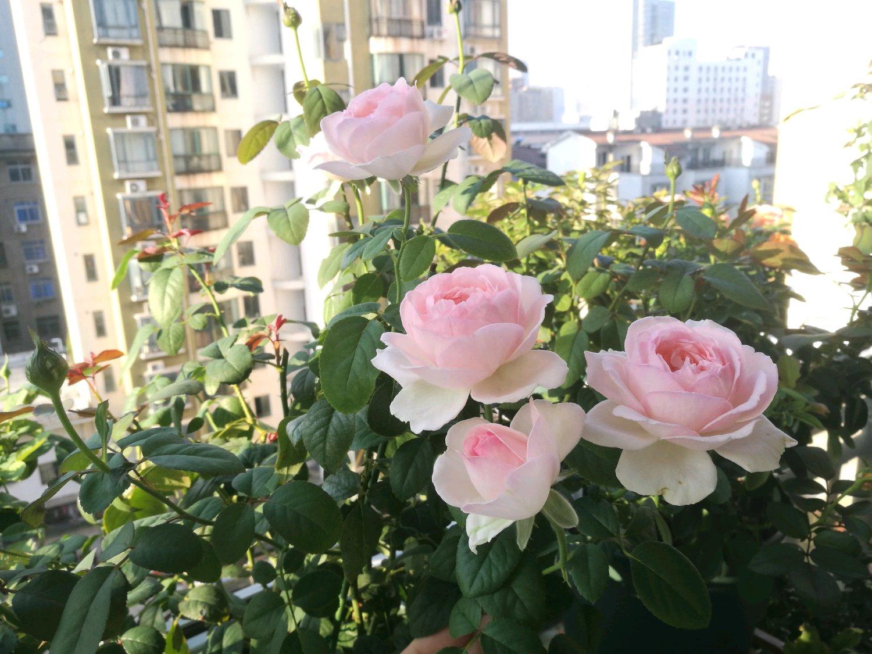 此月季花漂亮不输粉龙,四季花开不停,小盆就能种,很值得拥有