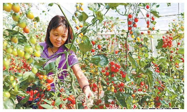 「图片新闻」初秋时节,游客在平凉白庙阳光采摘园采摘圣女果
