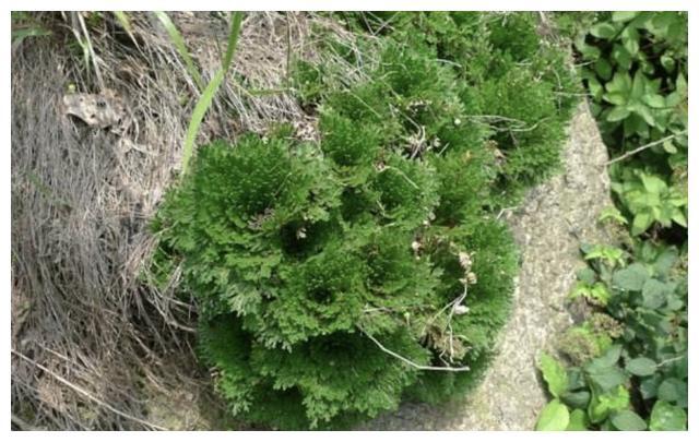 """荒地的1种""""野草"""",比什么黄杨树、瓦松都好养,关键美,种2棵"""