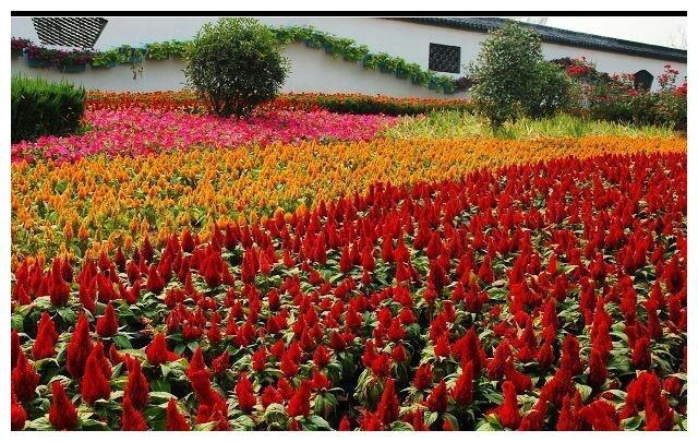 火炬鸡冠花怎么养?几种颜色搭配好了,一种花也能变成小花坛
