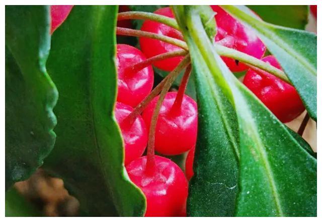 常绿灌木朱砂根~绿叶与红果交相辉映,珠光宝气,秀色迷人
