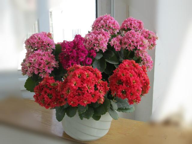 此款盆栽绿植,养护容易,花期达几个月,还可做盆景,室内也能养