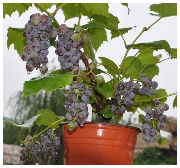 这些水果,很适合盆栽,种上一棵不用买水果