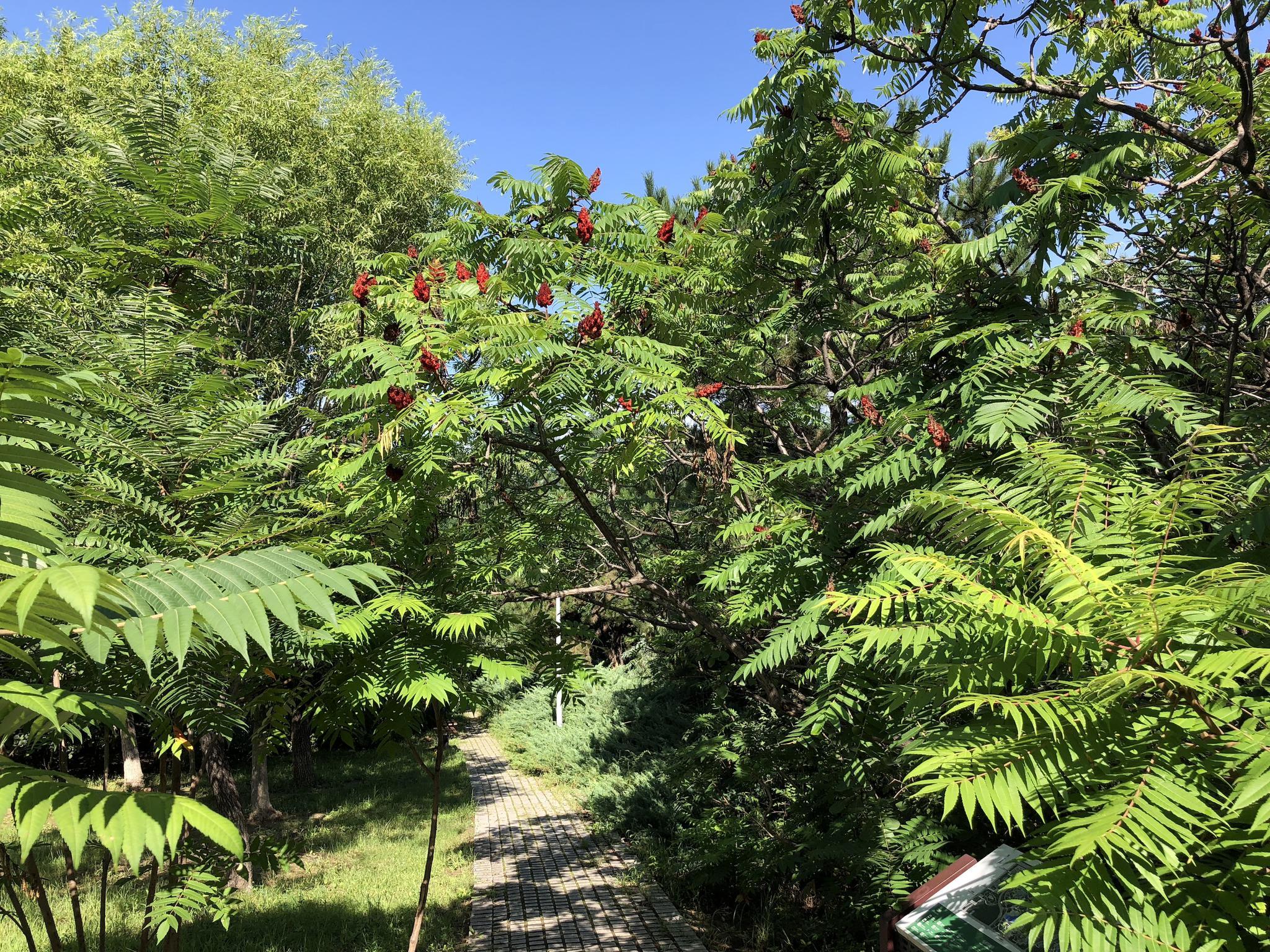 观赏植物:火炬树,北京奥森