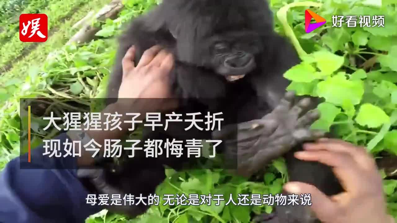 大猩猩孩子早产夭折饲养员送她一只小奶猫如今画面辣眼睛