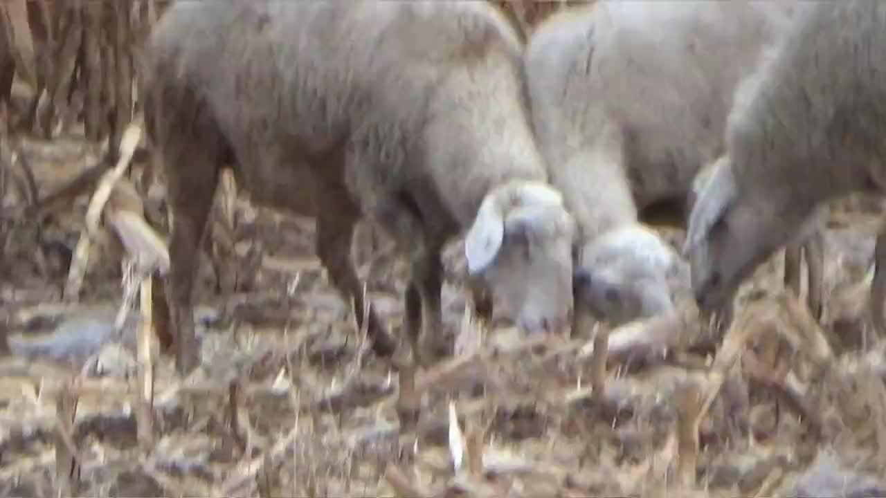 大黑放羊回来啥伙食铁锅西葫炒香肠蘸素糕地道农家饭真有食欲