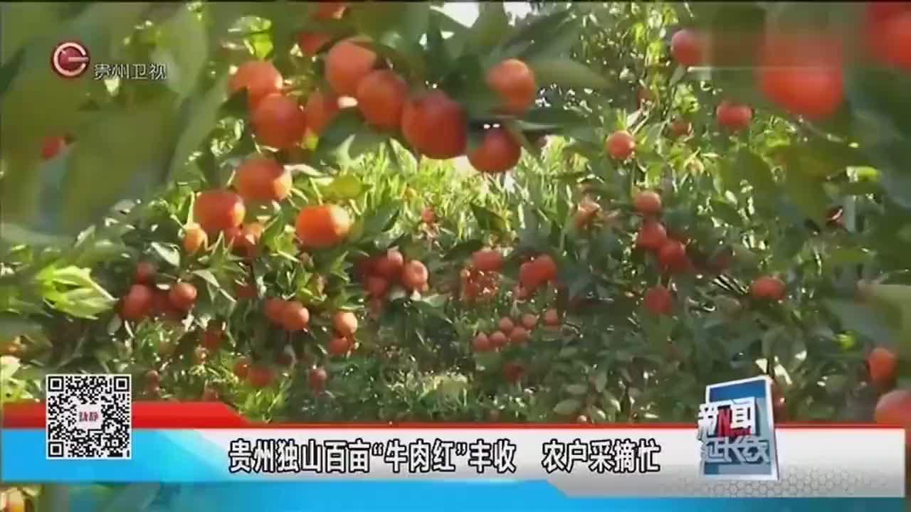 贵州百亩牛肉红大丰收农户忙采摘心里乐开了花