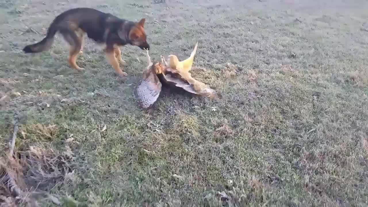 猫头鹰被老鹰攻击一只狗狗看不惯直接上去就是一口