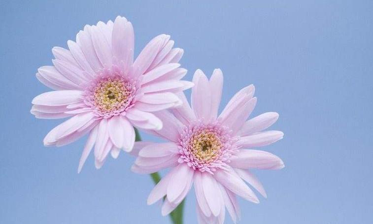 """喜欢菊花,就养盆""""珍稀名菊""""二乔菊,栽上几盆,颜值高寓意好"""