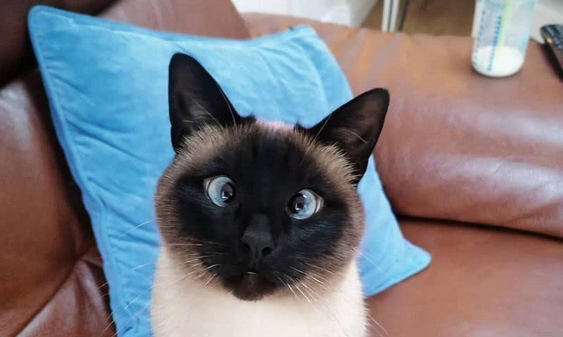 """这只暹罗猫靠""""眼睛""""走红,网友看后笑喷,这猫还是斗鸡眼"""