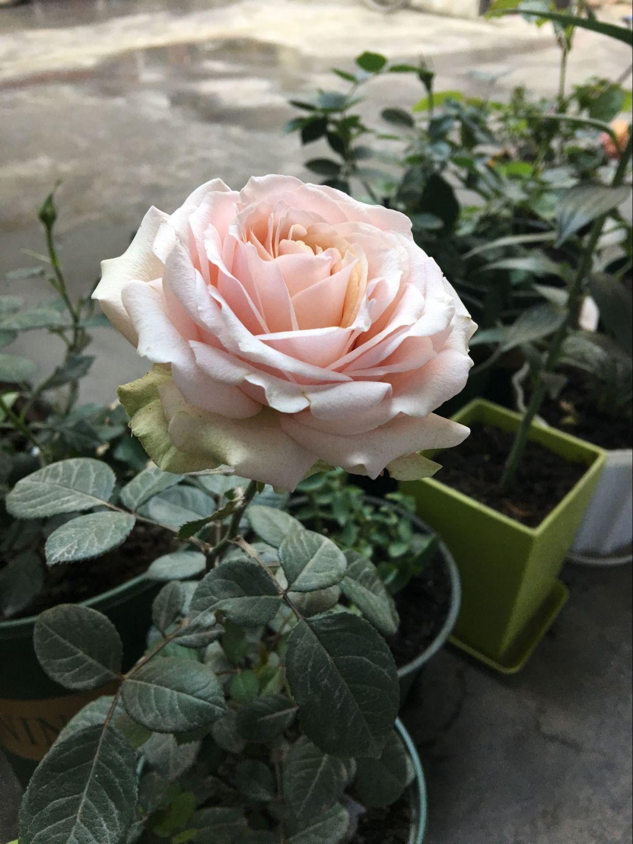 此花是世界名花,曾获园艺大奖,美不输玫瑰,四季常开,值得栽培