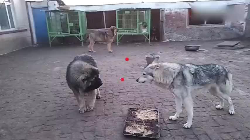 高加索对上一头狼下一幕太让人意外了不愧是公认的犬中战神