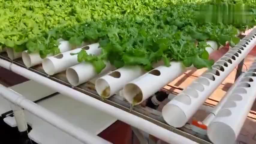 无土栽培蔬菜很多人不好吃目前却大量供应了市场
