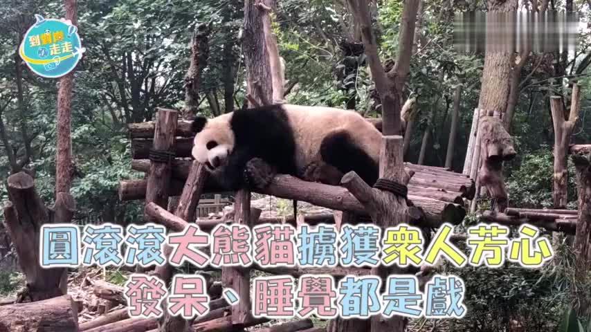 滚滚大熊猫掳获众人芳心 发呆睡觉都是戏|四川走走