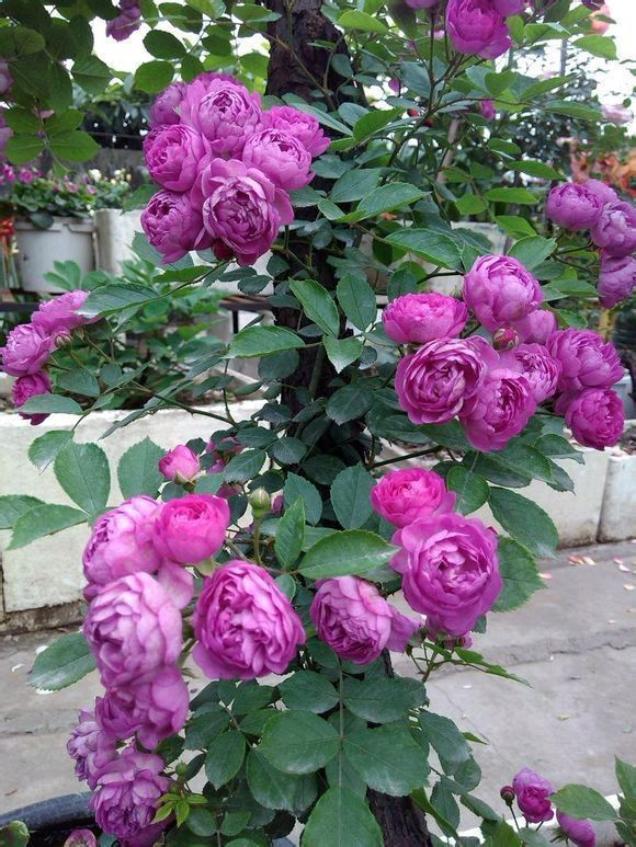 """喜欢玫瑰,不如试试精品月季""""葡萄园之歌"""",花繁叶茂,美丽怡人"""