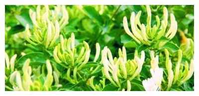 种植美丽的金银花‖金银花的栽培方法与病虫害防治