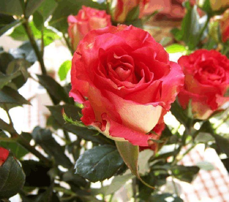"""喜欢玫瑰,不如试试""""高端品种""""彩纸口红,花开如唇彩,秀雅清奇"""