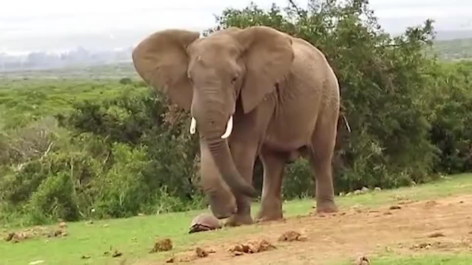急躁大象嫌乌龟爬的慢一脚踢飞乌龟大象别挡我道