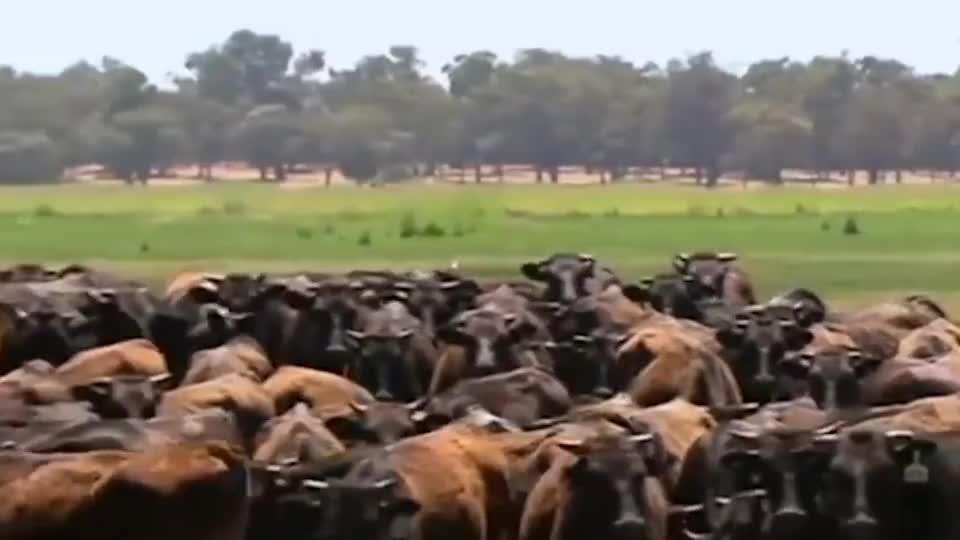 奶牛因个头太大被屠宰场拒收没想到竟成为了带头大哥