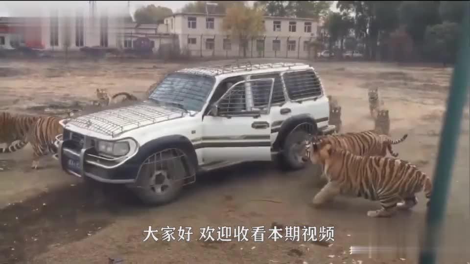 男司机被大群老虎包围多亏司机机智成功自救镜头记录全过程