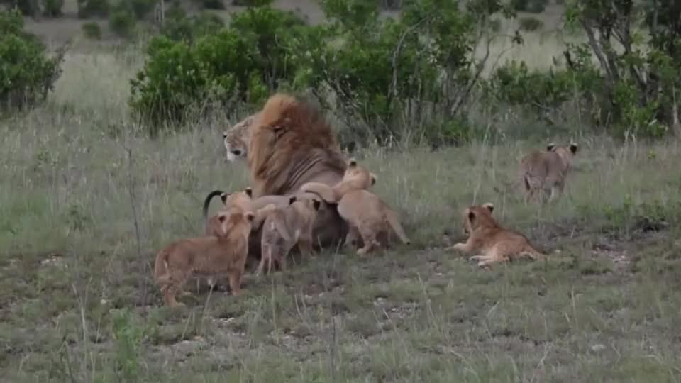 雄狮正在熟睡调皮的小狮子玩弄尾巴并一口咬了上去结果会怎样