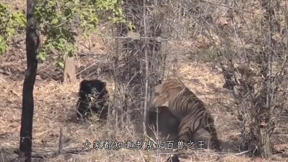 400斤的野猪能不能打赢一头东北虎镜头记录精彩全过程
