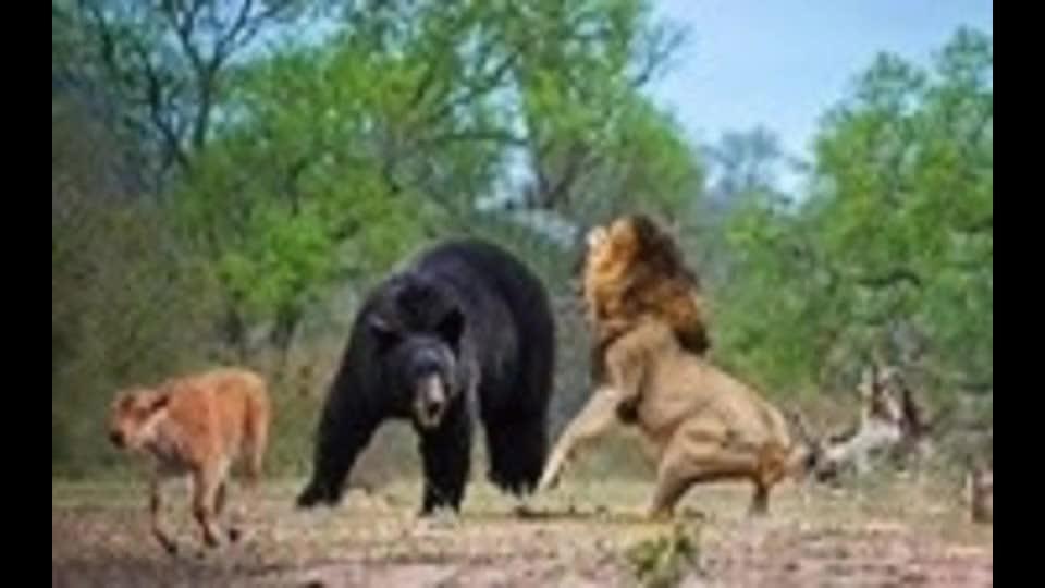 300斤黑熊闯入狮子领地狮子立马冲了上去大开杀戒