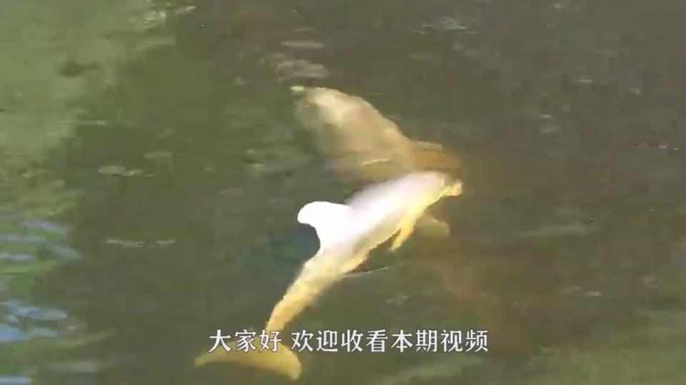 海豚误入运河找不到路14志愿者组成人墙引导海豚游回到大海