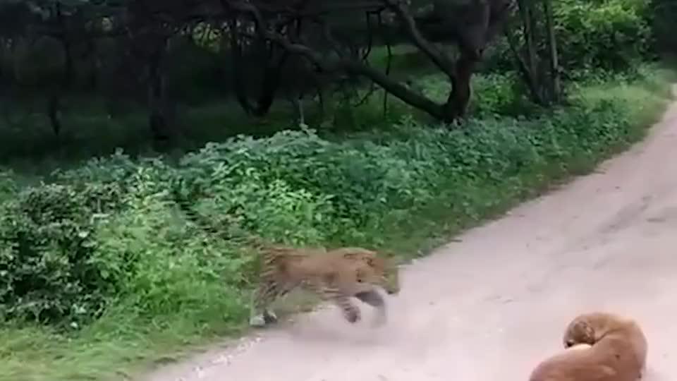 花豹突然窜出来冲向狗狗接下来的操作把豹子都给整懵了