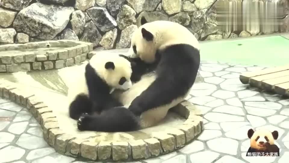 熊孩子喝奶很过瘾熊猫妈妈的表情是亮点一大一小萌到爆